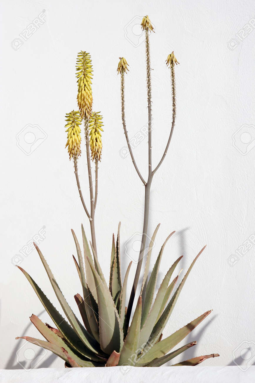 Flowering Aloe Vera Plant Growing Against White Wall Stock Photo