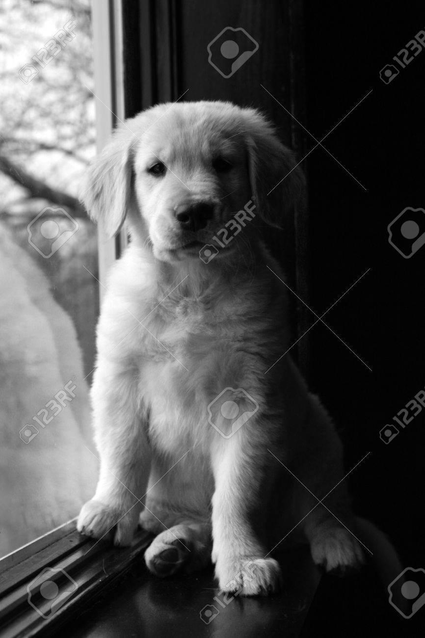 En Blanco Y Negro Golden Retriever Cachorro En Un Alfeizar Fotos