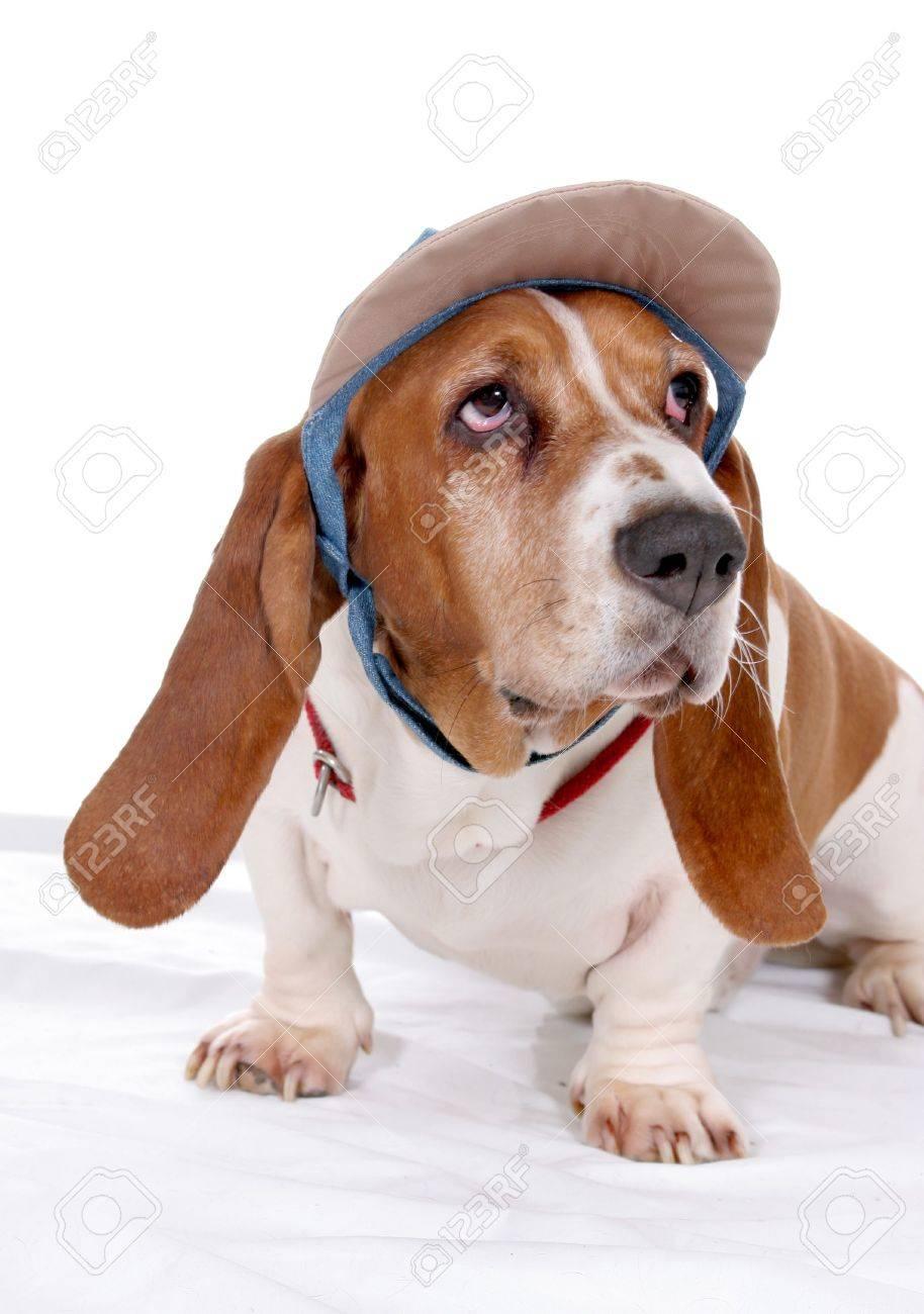 basset hound in visor hat Stock Photo - 3353595