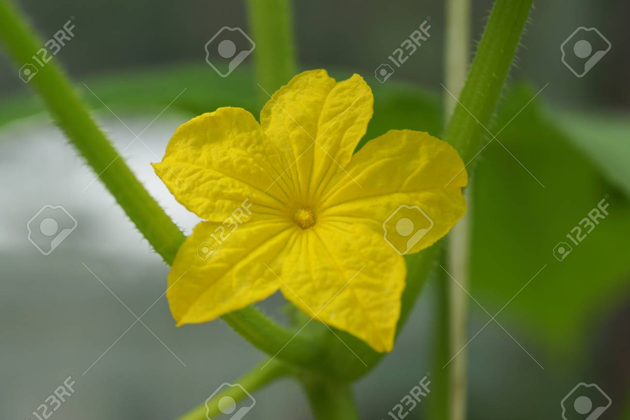 Yellow Flower Of Cucumber Close Up Stock Photo Picture And