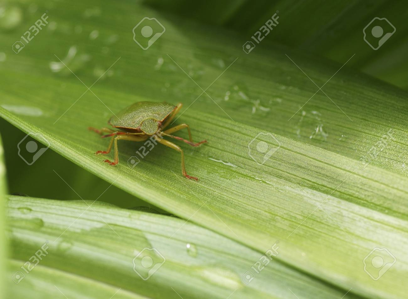 Bedbug On A Green Leaf In The Garden Close Up Stock Photo Picture