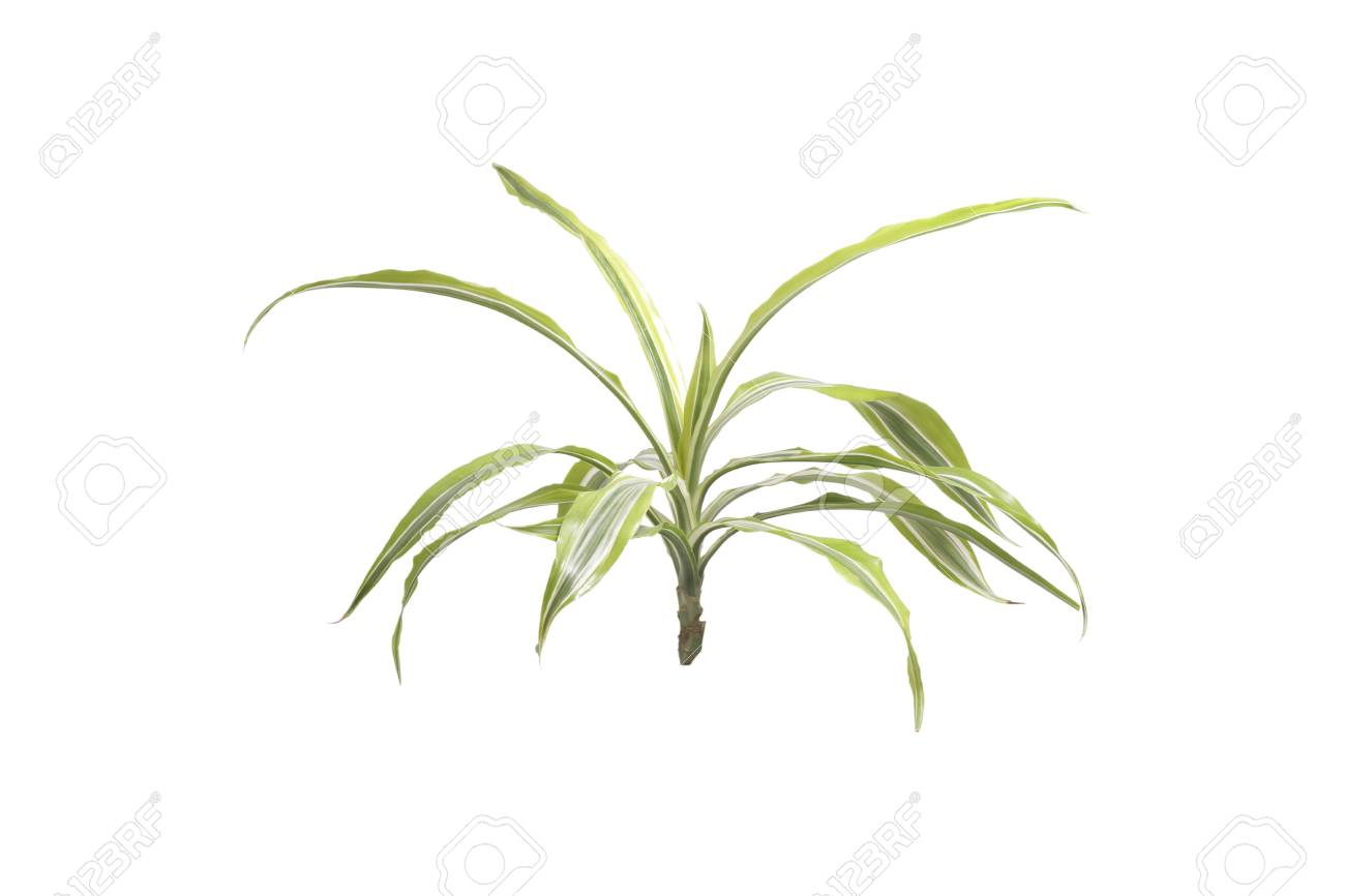 Houseplants palm. Isolated on white. on palm leaf chickee, palm bamboo, palm pattern, palm border, palm vector, palm beetle, palm flowers, palm drawing, palm shrubs, palm bonsai, palm tr, palm seeds, palm christmas, palm shoot, palm trees, palm diagram, palm leaf cut out, palm chamaedorea seifrizii, palm roses, palm rats,