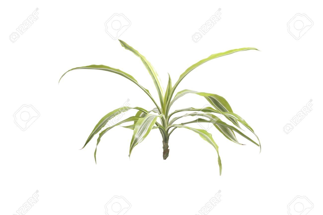 Zimmerpflanzen Palme. Isoliert Auf Weiß. Lizenzfreie Fotos, Bilder ...
