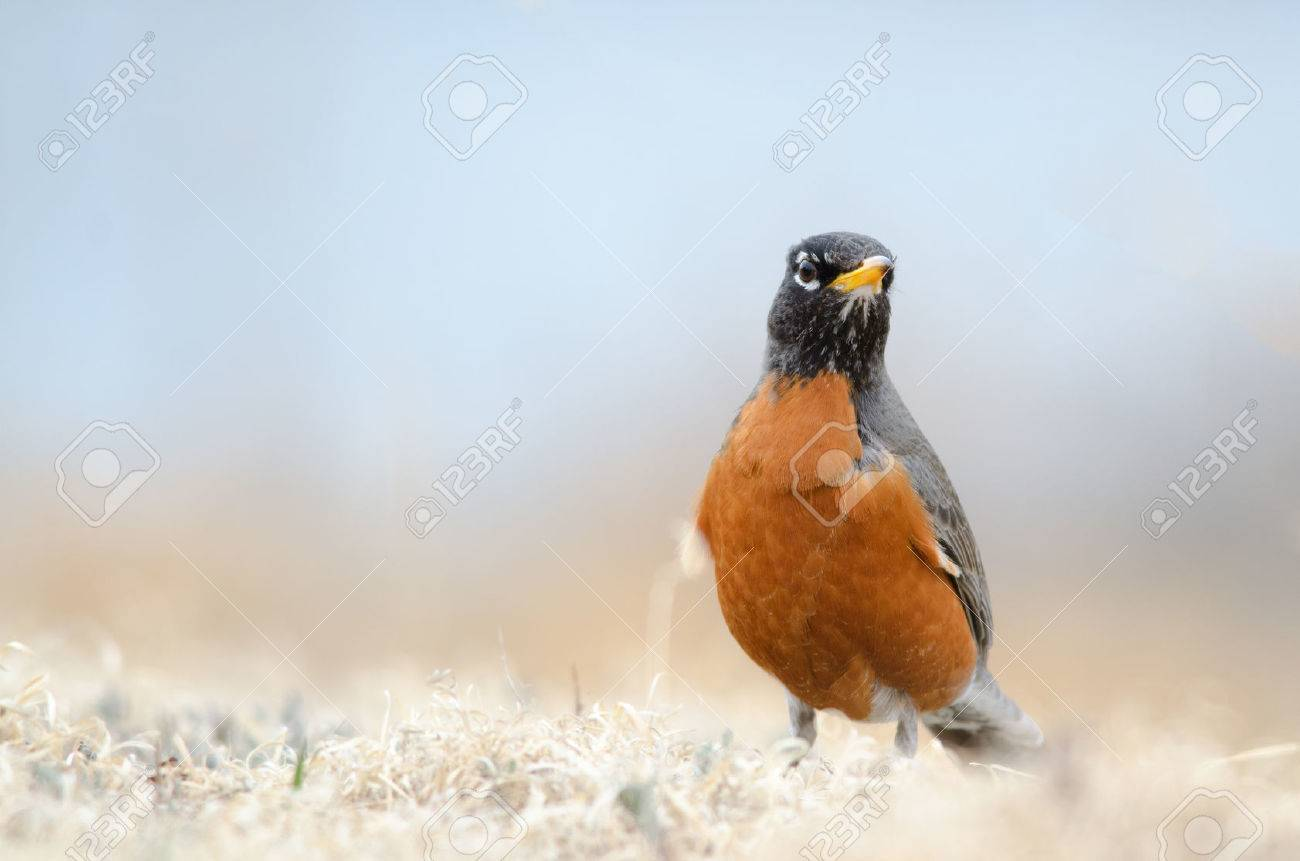 front view of an american robin state bird of michigan
