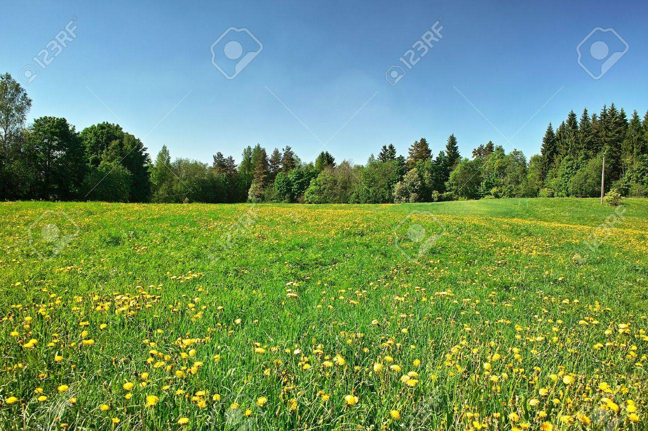 Grassland. Green meadow with blossoming dandelions, bordered by forest Stock Photo - 4962233