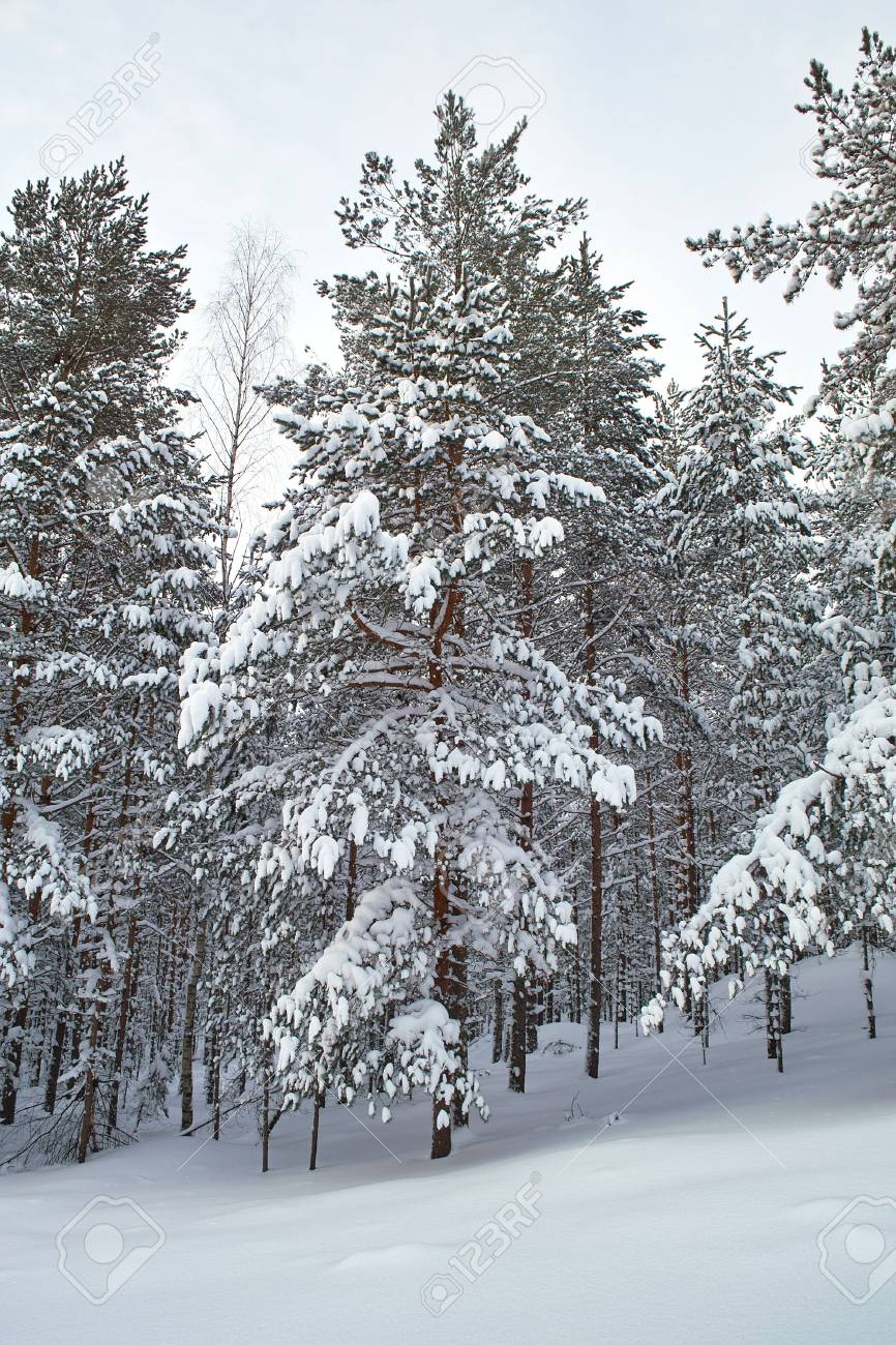 Pines covered with snow Stock Photo - 6177948