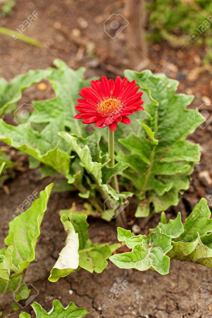 Red Gerbera African Daisy Flower Growing In The Soil Stock Photo