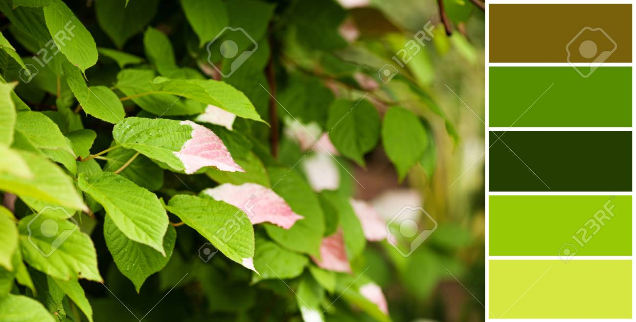 Half Colored, White And Pink Green Leaves Of Actinidia Kolomikta ...