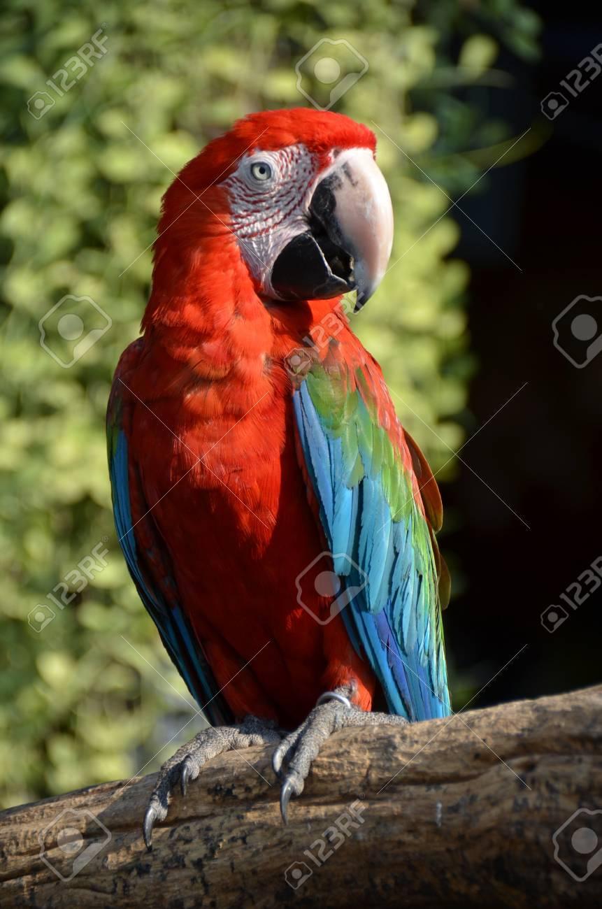 Scarlet Macaw 03 Stock Photo - 18389155