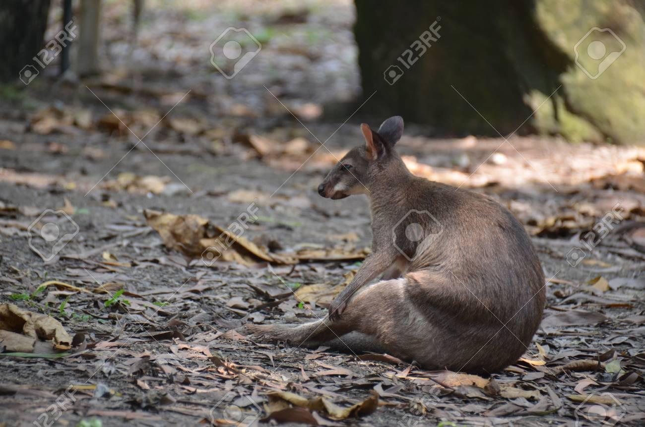 Gorgeous Kangaroo Stock Photo - 18523397