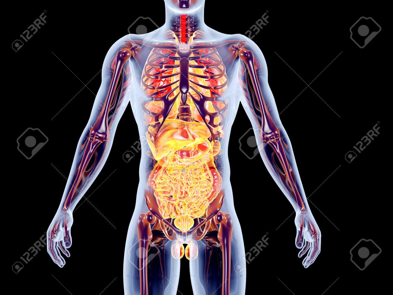 El 3D órganos Internos Suprarrenal Rindió La Ilustración Anatómica ...