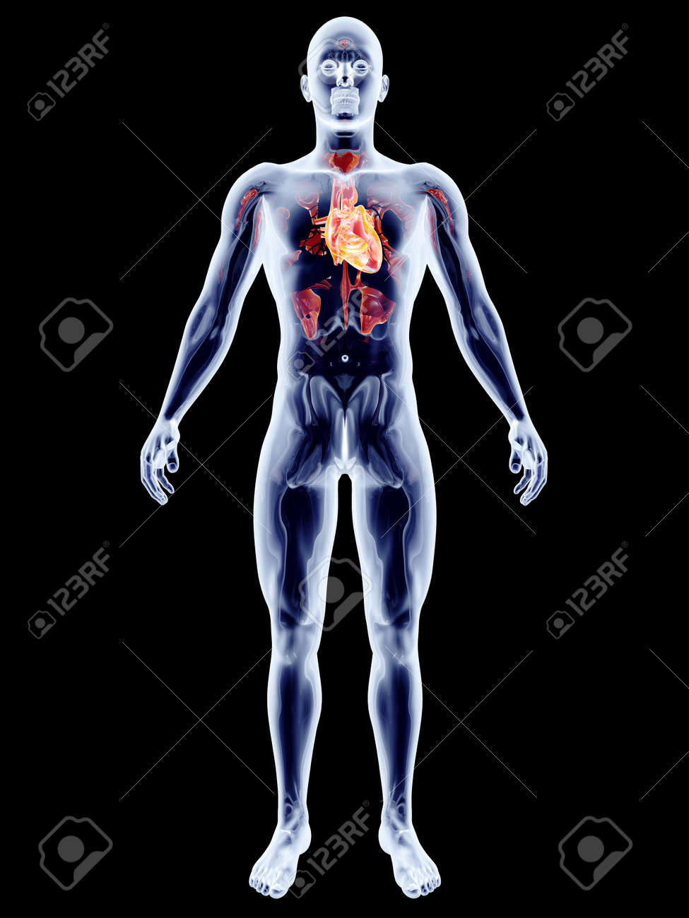 The Human Heart. 3D Rendered Anatomical Illustration. Stock Photo ...