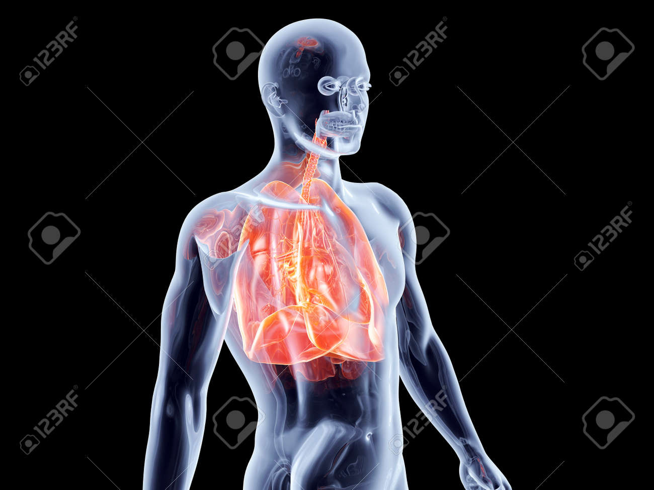 The Lungs. 3D rendered anatomical illustration. Stock Photo - 17470710