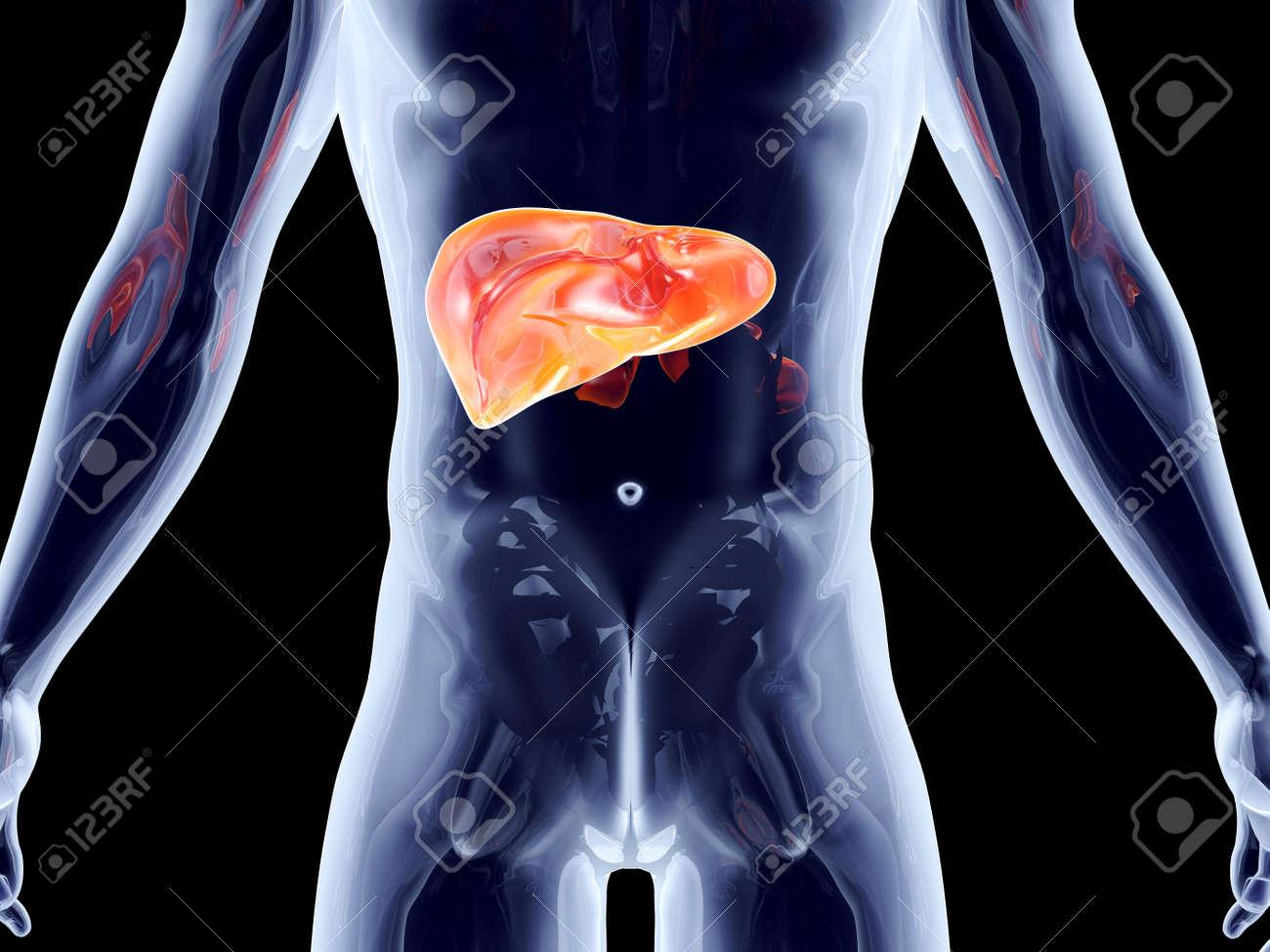 El Hígado. 3D Representa La Ilustración Anatómica. Fotos, Retratos ...