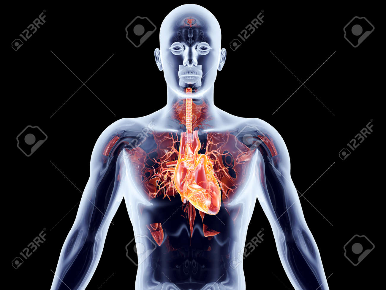 The human heart. 3D rendered anatomical illustration. Stock Photo - 17784555