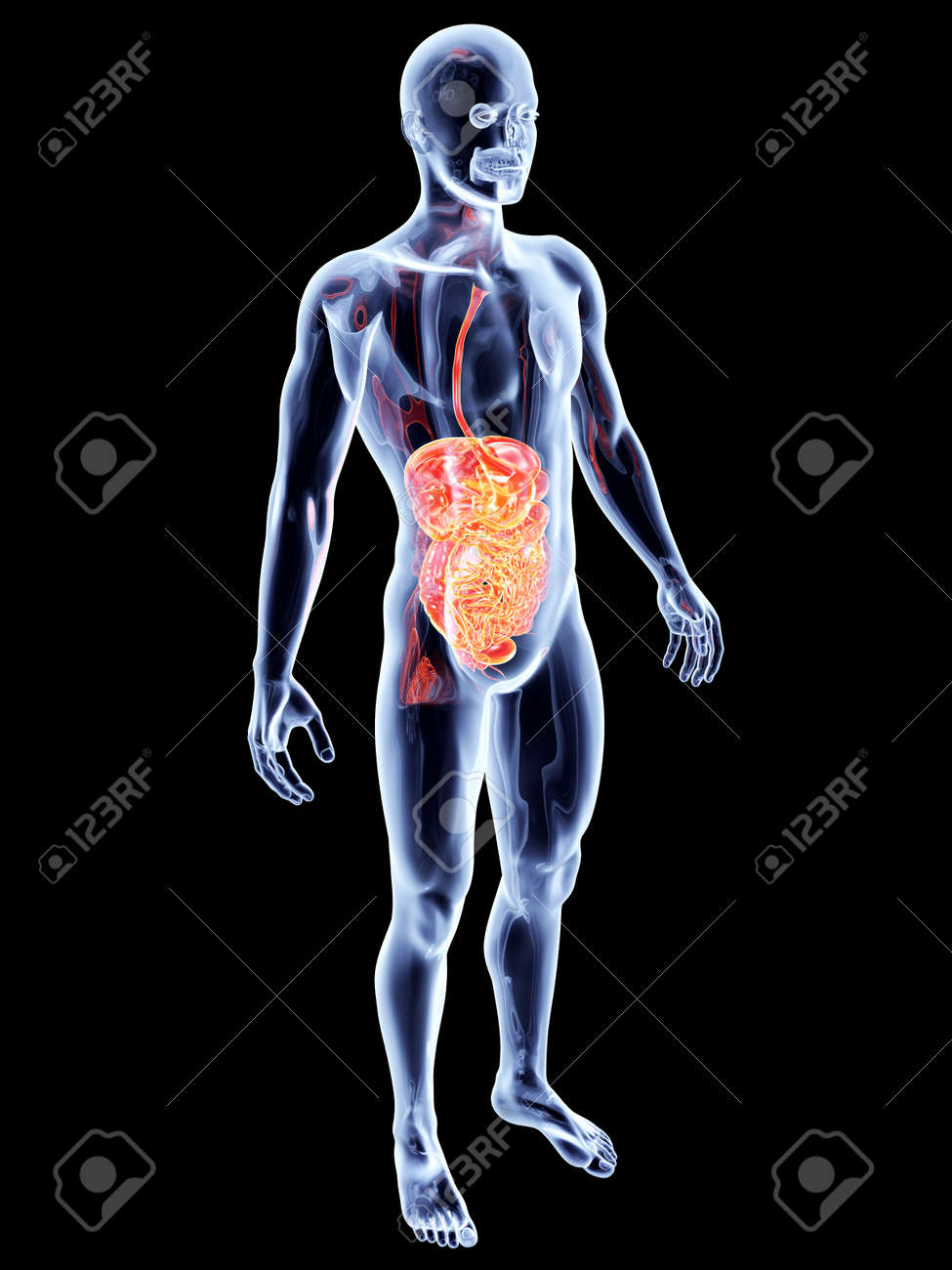 The Intestines 3d Rendered Anatomical Illustration Stock Photo