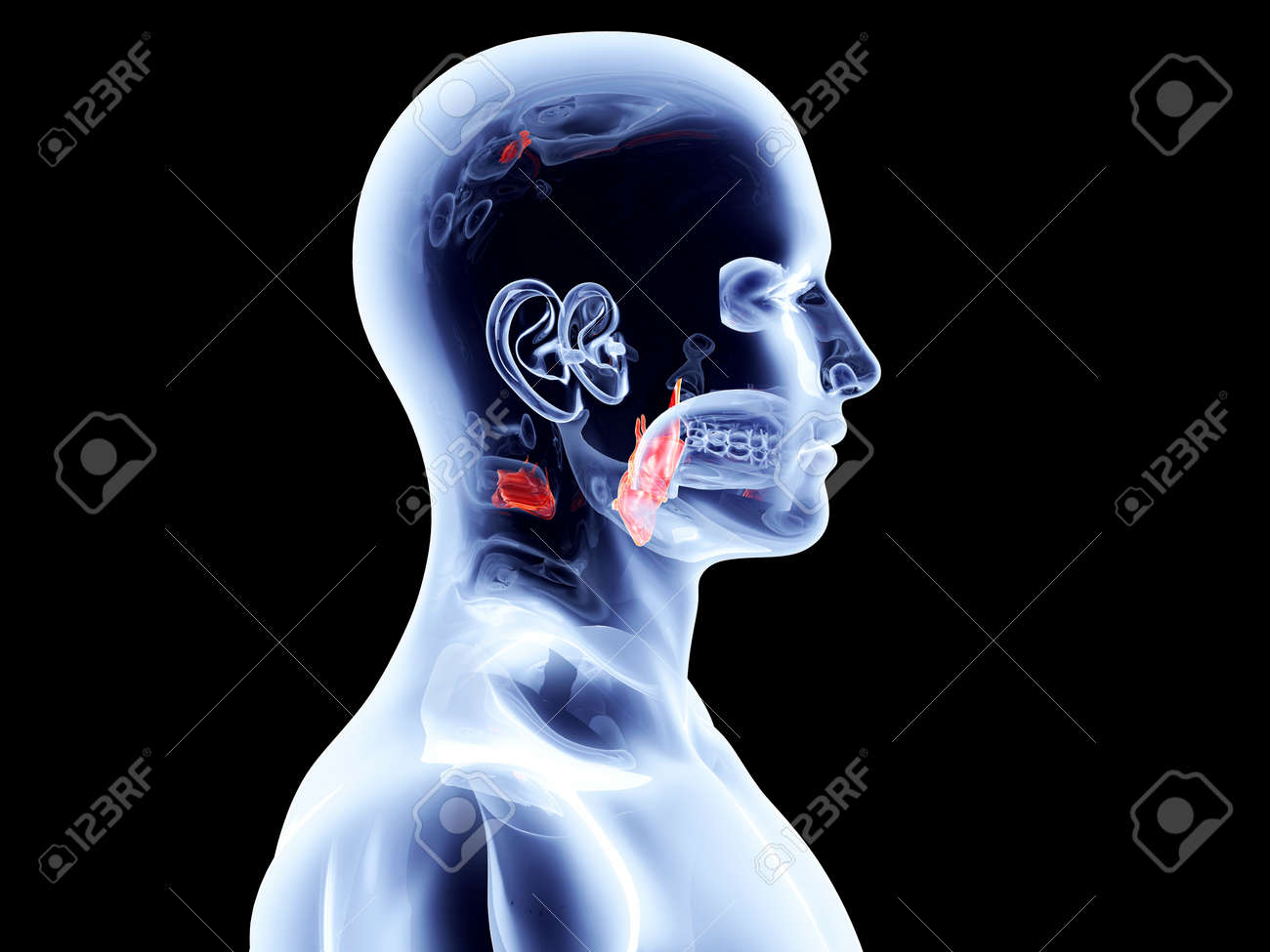 The Larynx 3D Rendered Anatomical Illustration Stock Photo, Picture ...