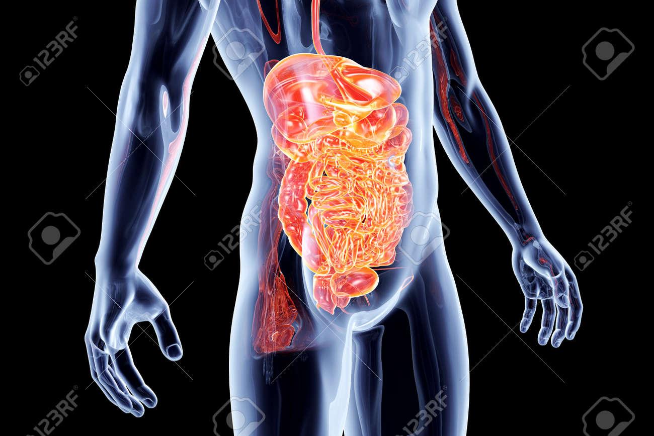 The Intestines. 3D rendered anatomical illustration. Stock Illustration - 20313789