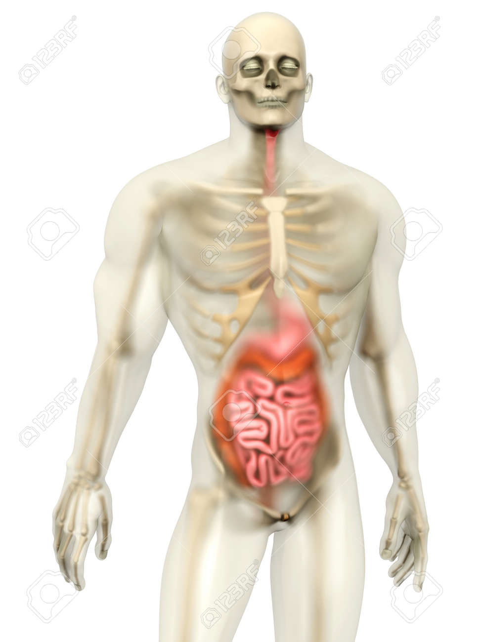 3d Visualization Of The Human Anatomy The Digestive System In