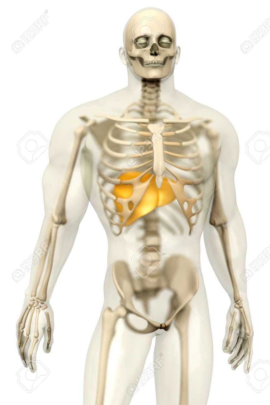 Visualización En 3D De La Anatomía Humana. El Hígado En Un Cuerpo ...