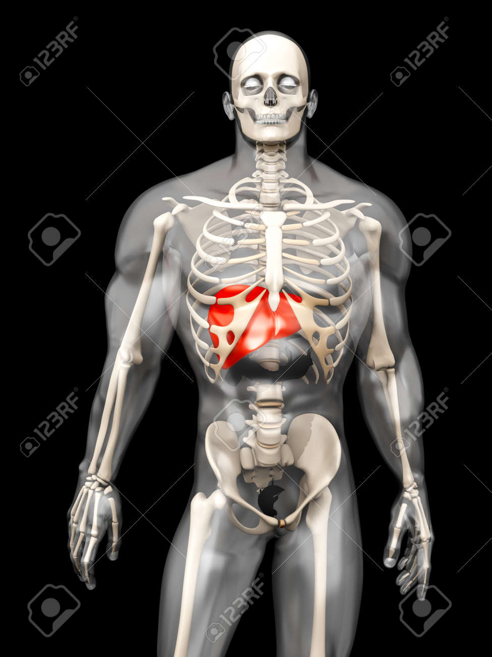 3d Visualization Of The Human Anatomy The Liver In A Semi