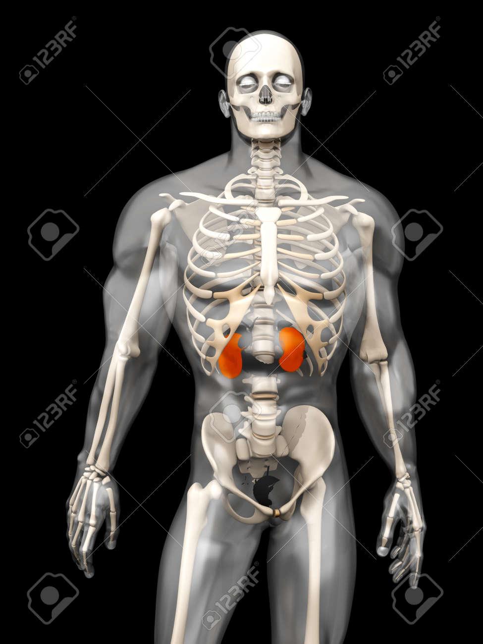 3D-Visualisierung Der Menschlichen Anatomie. Die Nieren In Einem ...