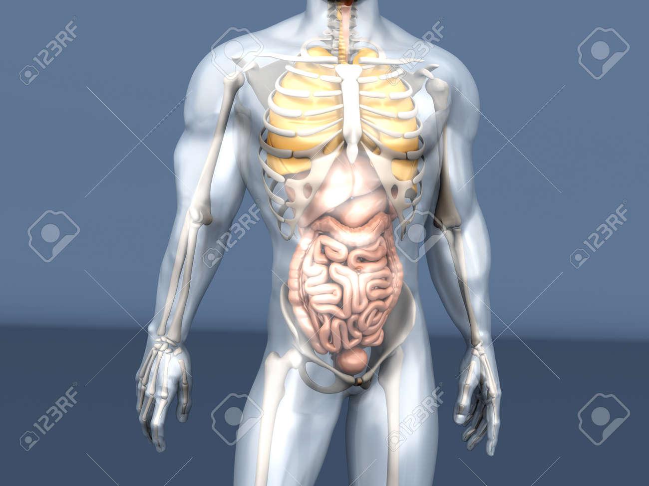 3D-Visualisierung Der Menschlichen Anatomie. Die Inneren Organe In ...