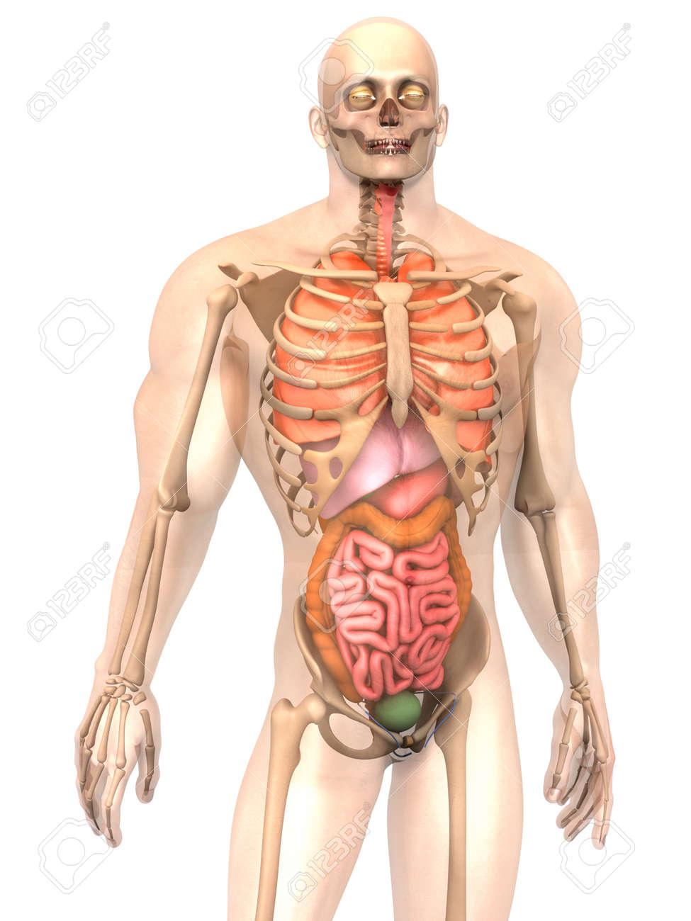 Atractivo La Anatomía Humana 3d Colección - Imágenes de Anatomía ...