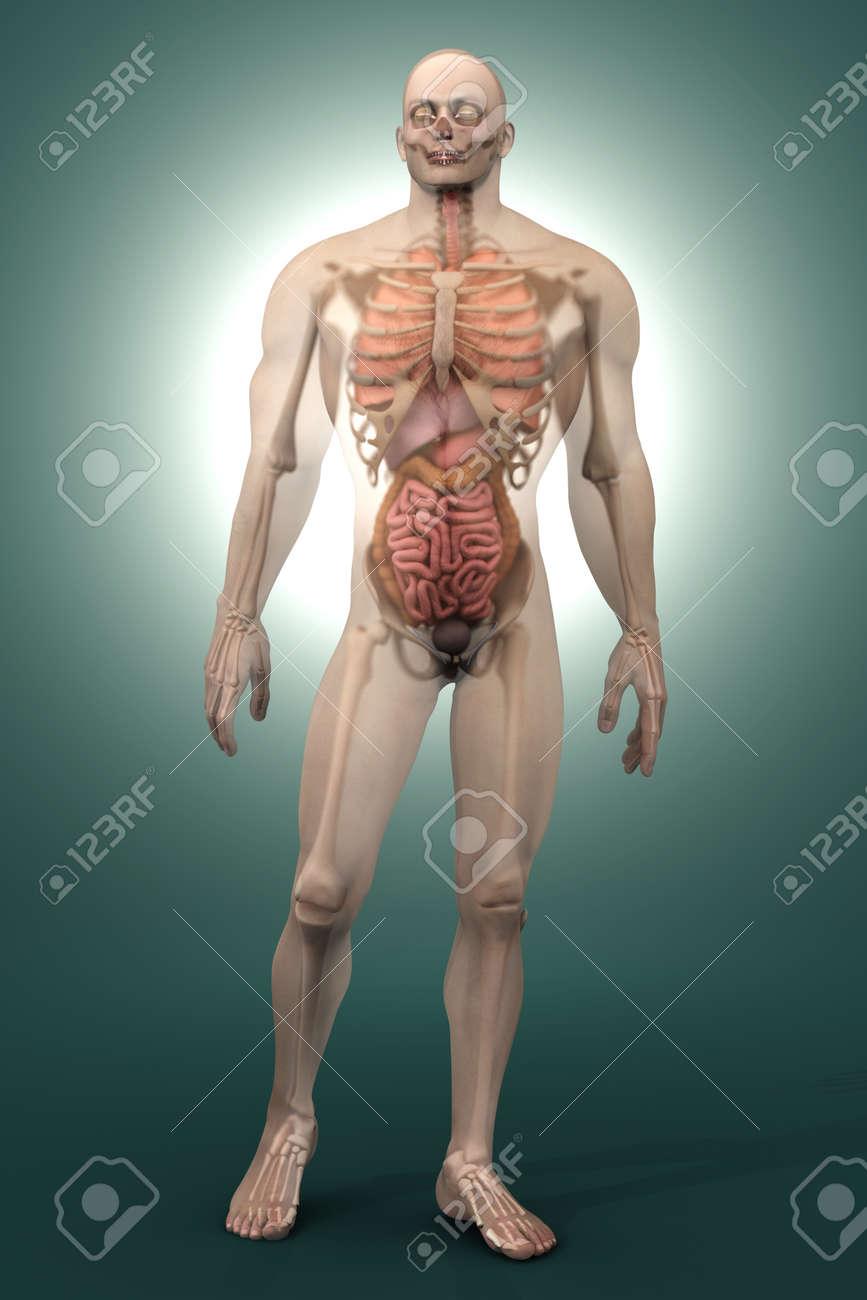 Visualización En 3D De La Anatomía Humana. Los órganos Internos En ...