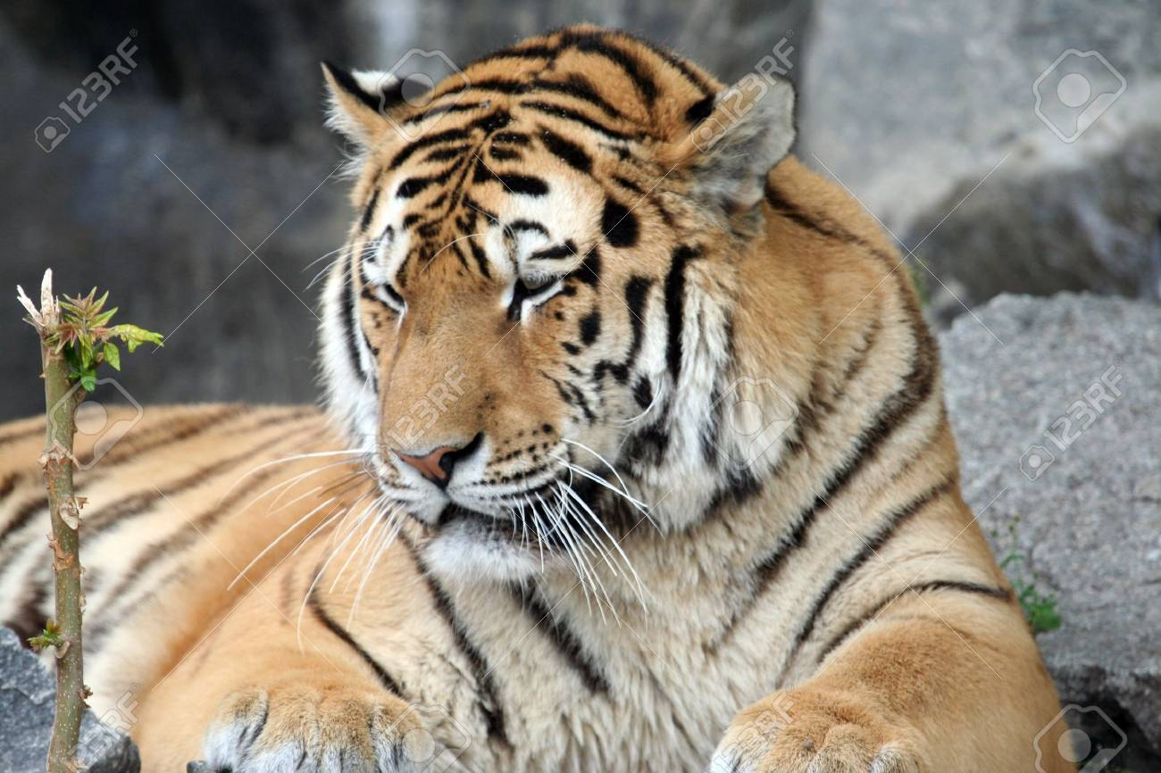 Portrait of a tiger, seen here lying on the ground. Stock Photo - 2659792