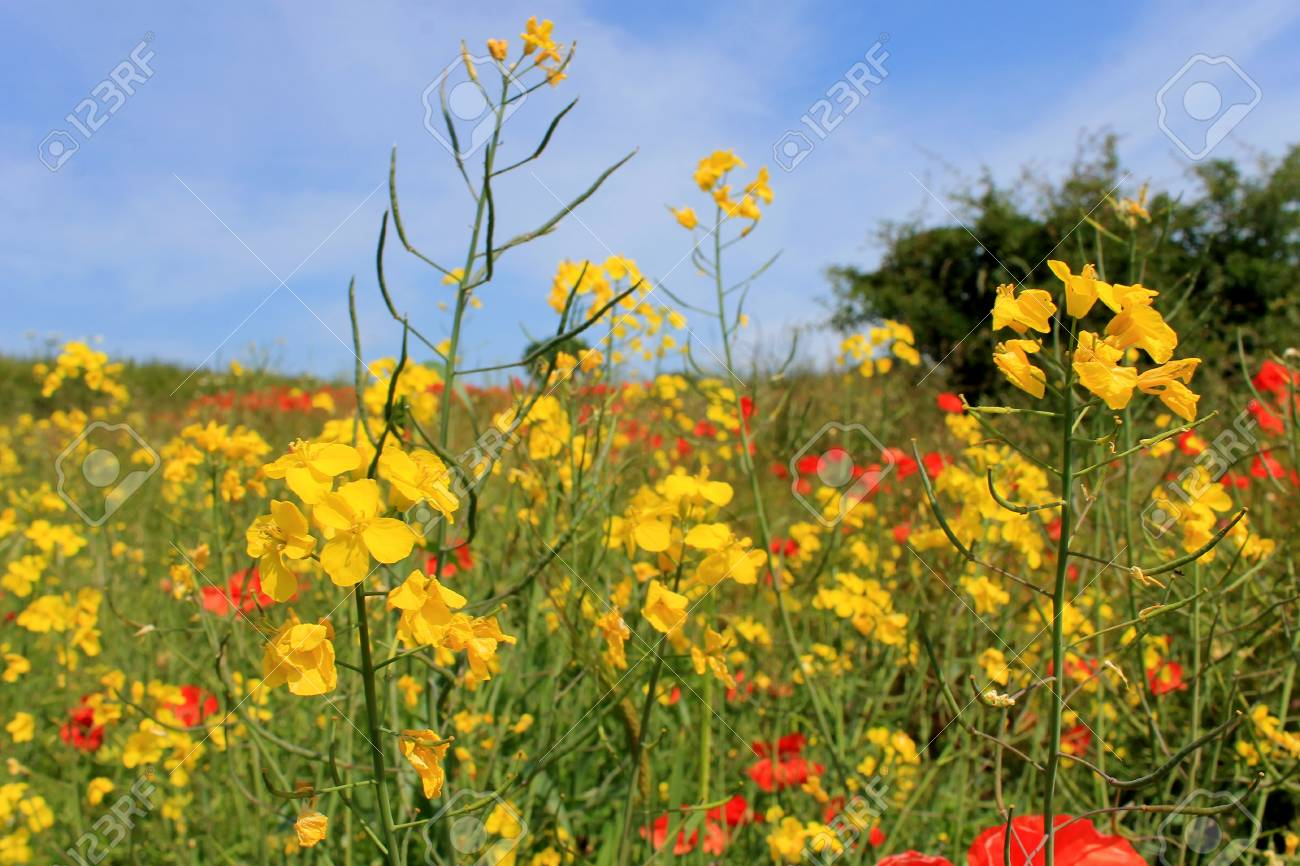 Scenic View Of Yellow And Red Poppy Flowers Blooming In Field Stock