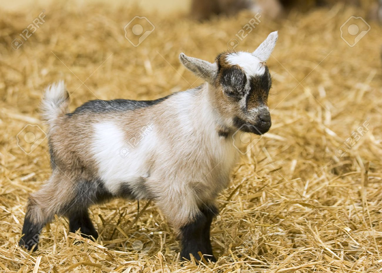 A baby goat standing on staw bedding in an indoor animal pen Stock Photo - 7644559