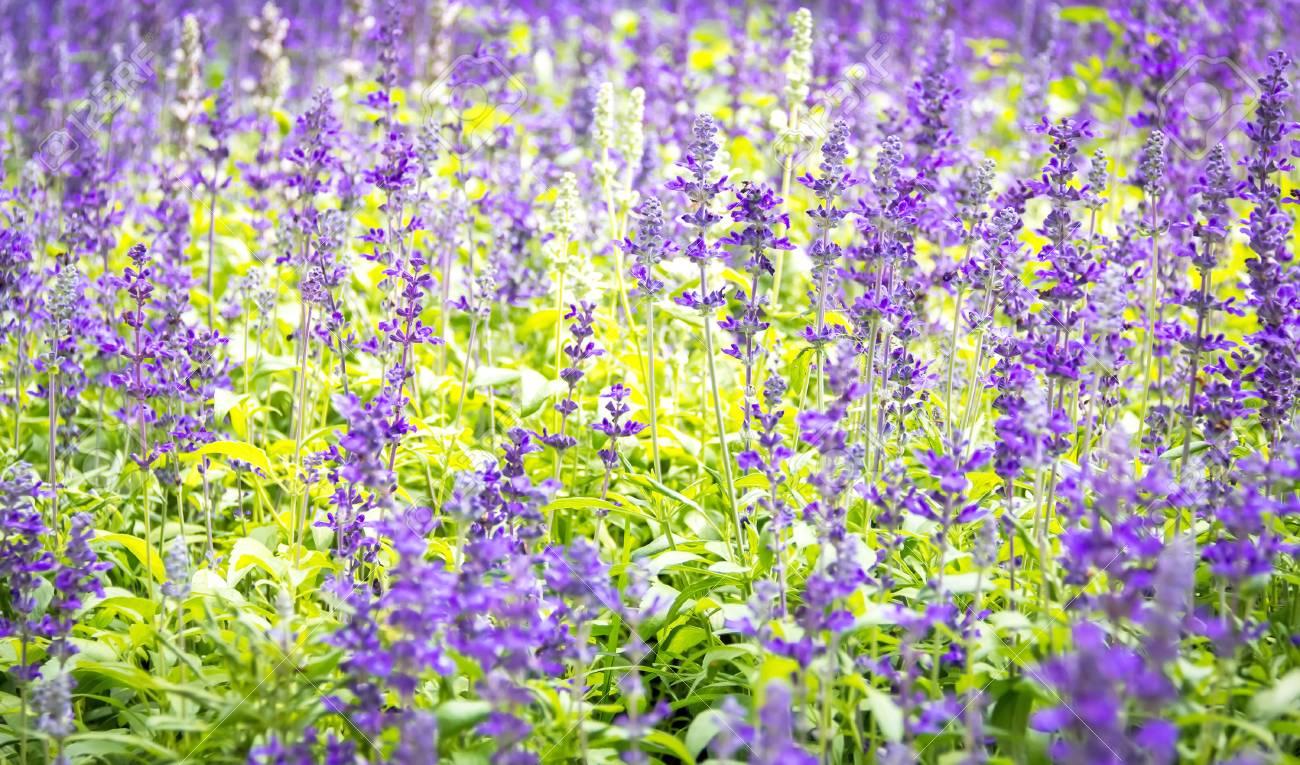 Violeta Jardin De Flores Lavanda Fotos Retratos Imagenes Y