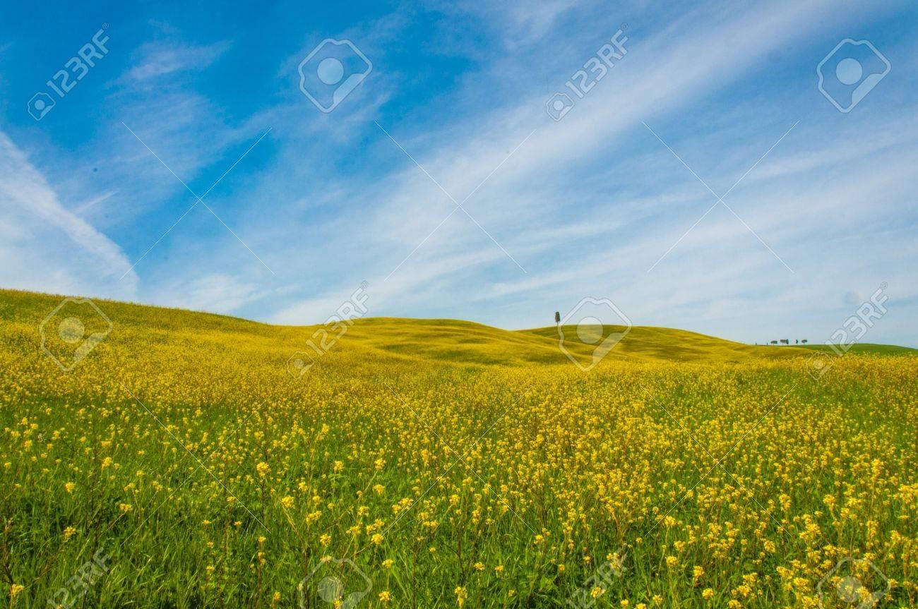 Fiori Gialli Toscana.Immagini Stock La Toscana E Ricca Di Campi Di Grano Verdi Con