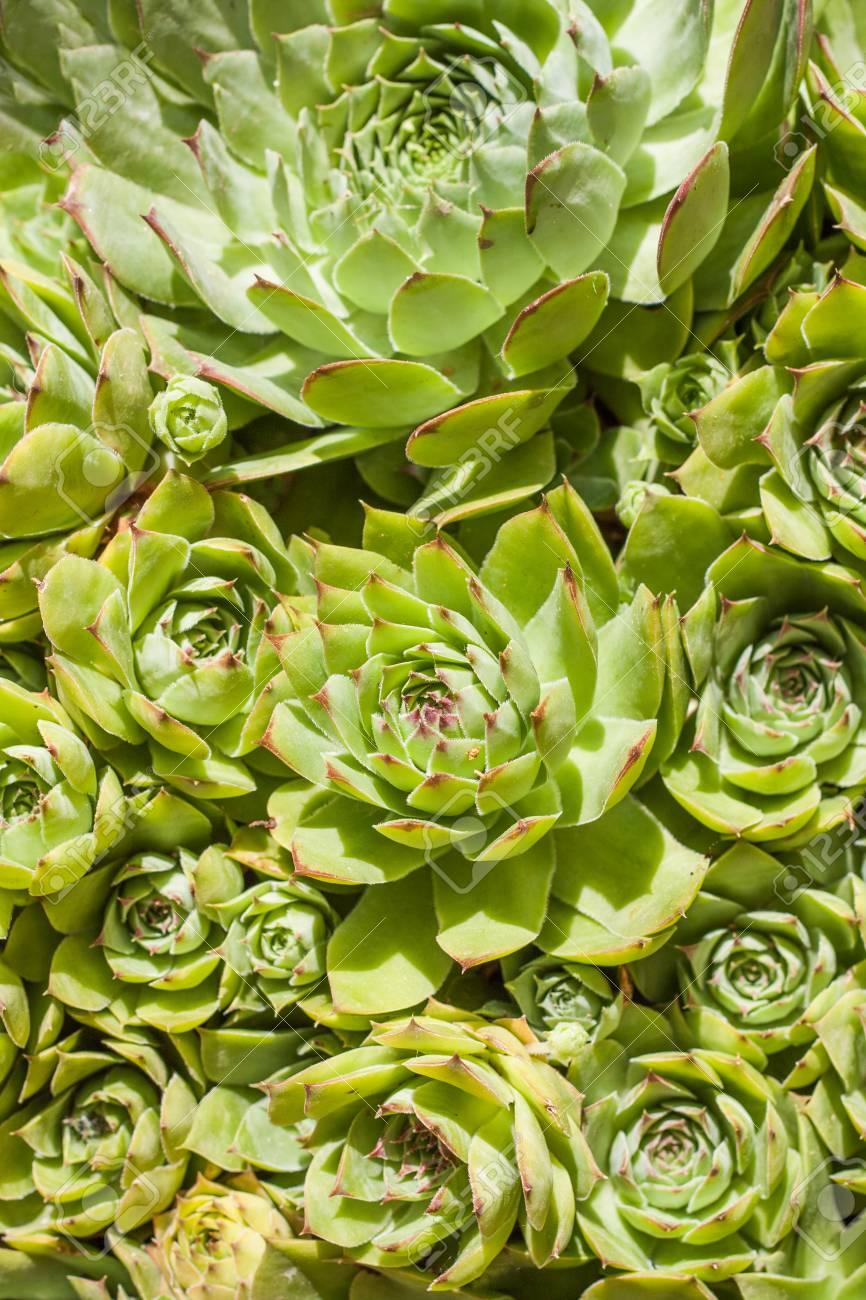 Sempervivum is a flowering plant in the Crulaceae family,.. on hyssop plant, holly plant, bottling plant, hellebore plant, sage plant, scilla violacea plant, lemon verbena plant, daffodil plant, lemon balm plant, hops plant, lady's mantle plant, catmint plant, birch plant, perennial plant, yarrow plant, poppy plant, gold flower plant, thyme plant, goat's beard plant,
