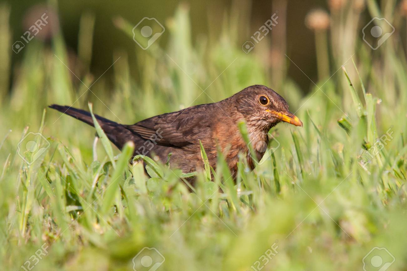 A juvenile female common blackbird (Turdus merula) catching prey (earthworms Lumbricus terrestris) in a green grass meadow. - 105517462