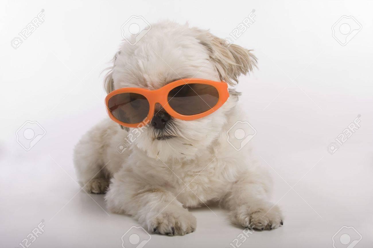 Shih Tzu puppy wearing orange sunglasses Stock Photo - 5824264