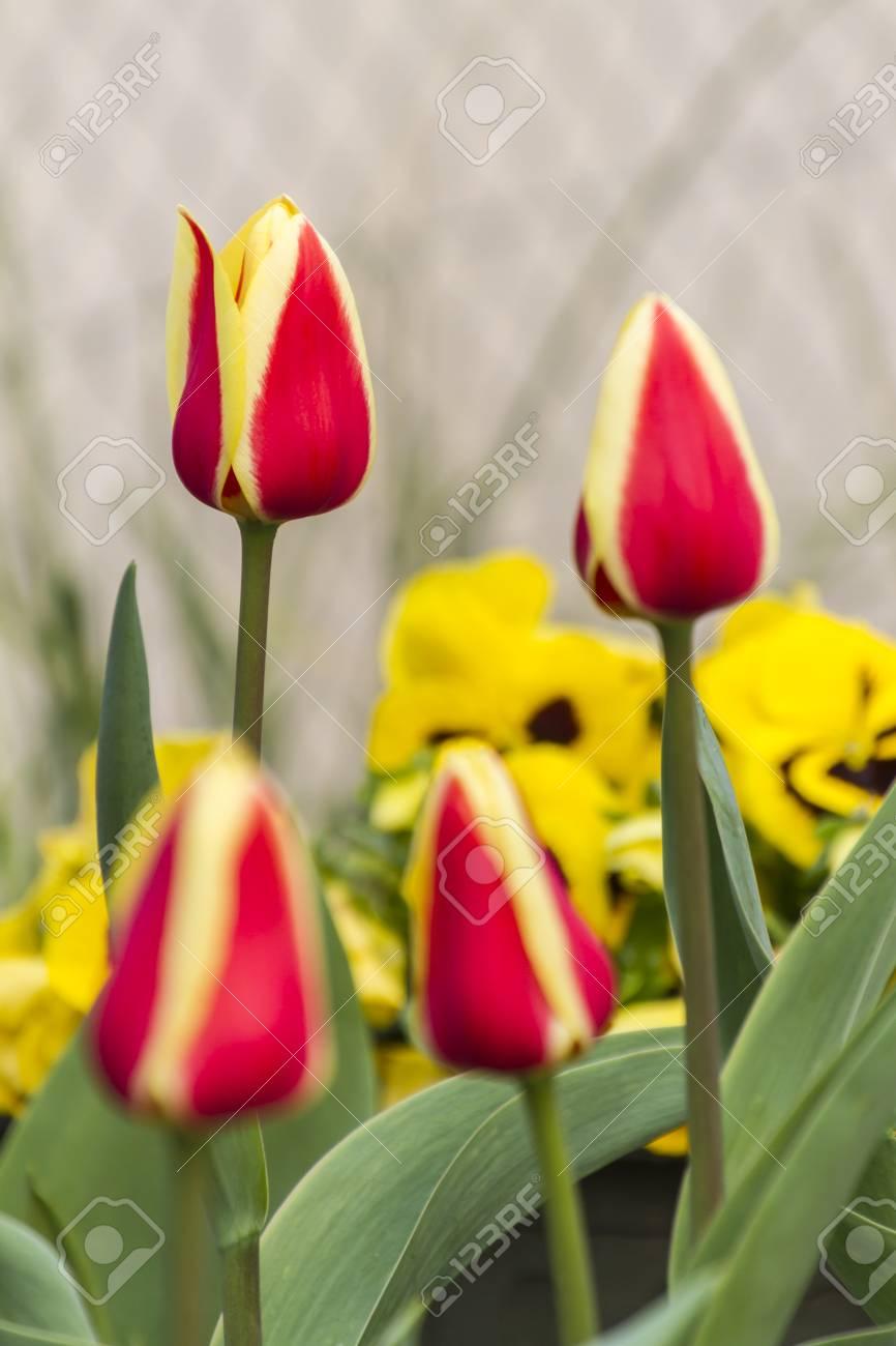 Fiori Tulipani.Immagini Stock Fiori Tulipani In Giardino Image 54284657