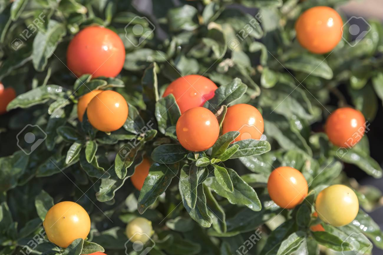 Solanum Plant With Orange Berries Stock Photo Picture And Royalty