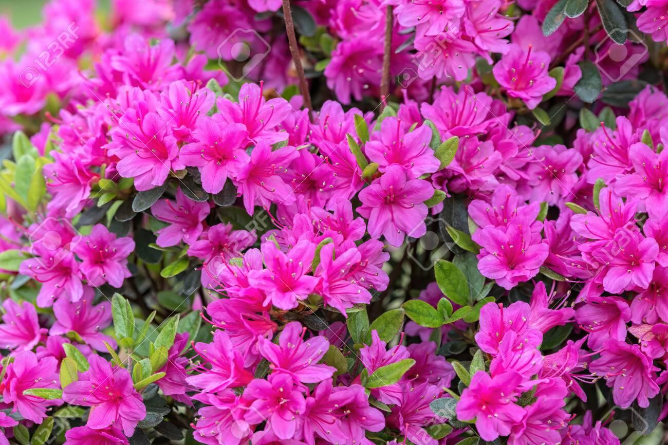 pink azalea in the garden - 121357421