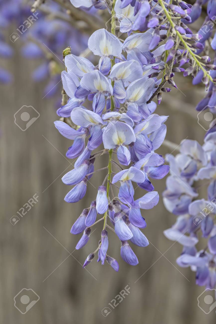 Wisteria Flower In Bloom In The Garden Stock Photo Picture And