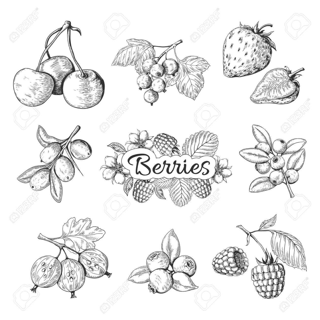 Hand drawn berries. Cherry blueberry strawberry blackberry vintage drawing, berry sketch drawing. Vector graphic templates illustration sweet wild nature organic food set - 122318672