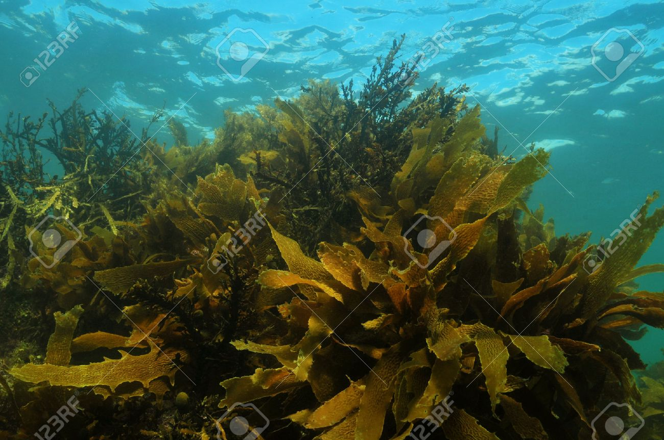 Shallow water kelp forest in temperate Pacific ocean consisting of Ecklonia radiata and other brown algae - 33491879