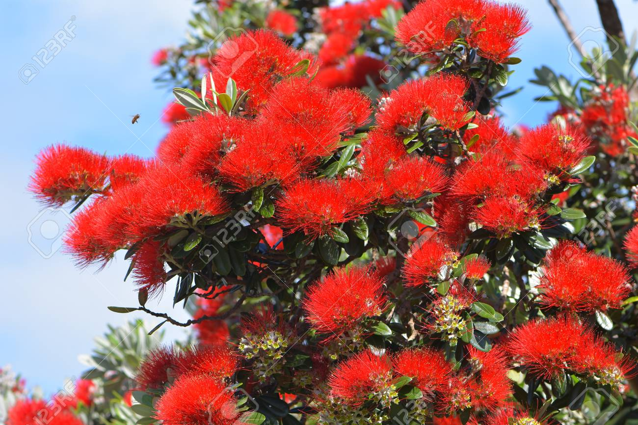 Detail Of Bright Red Flowers Of New Zealand Christmas Tree Coastal