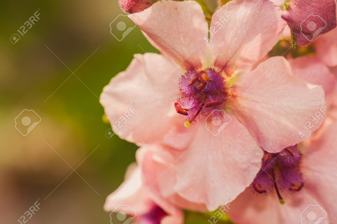 Macro Photo Of Small Light Pink Flowers With Purple Centre Stock