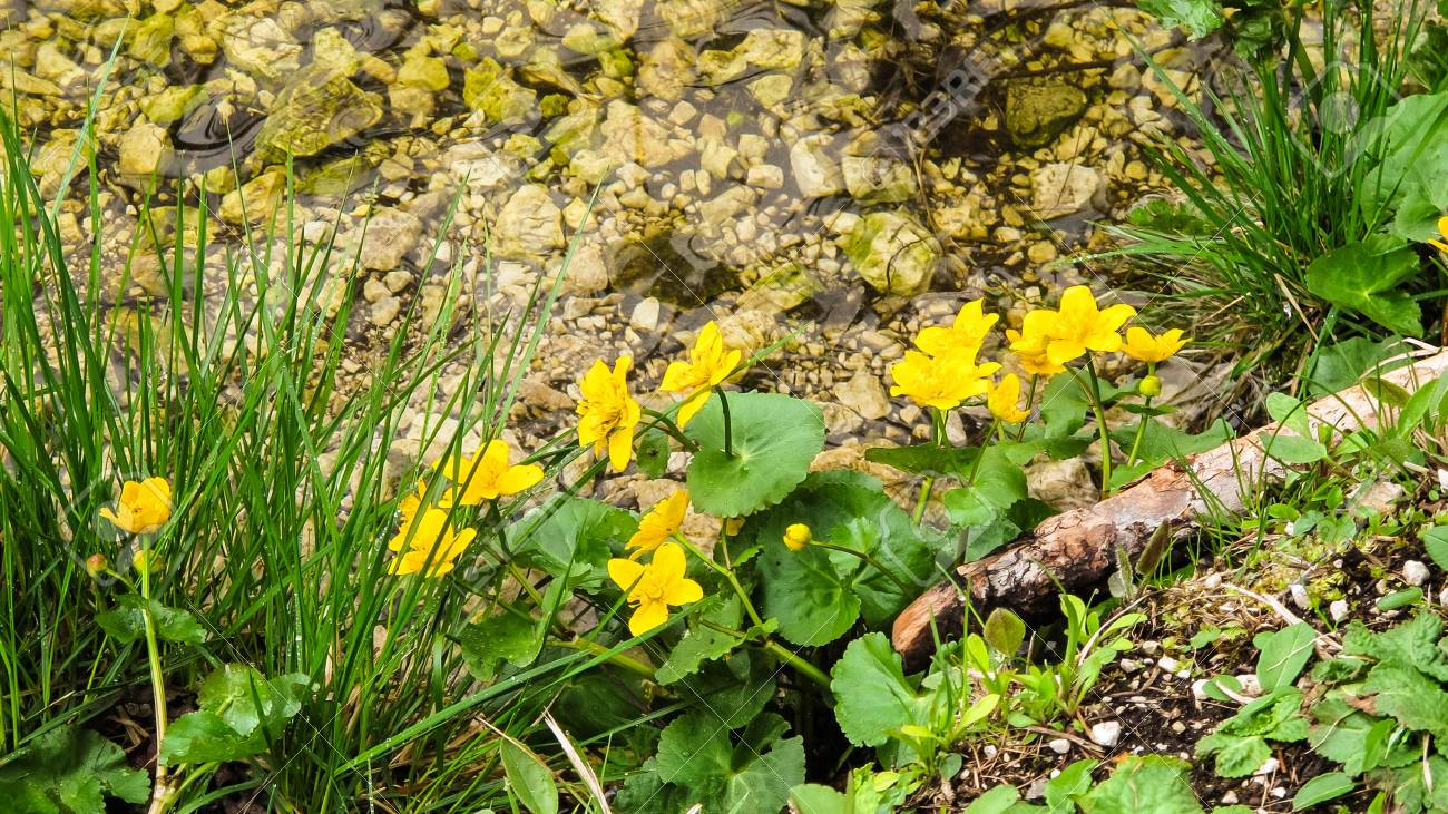 Little Yellow Flowers Along A Small Water Stream On The Alps