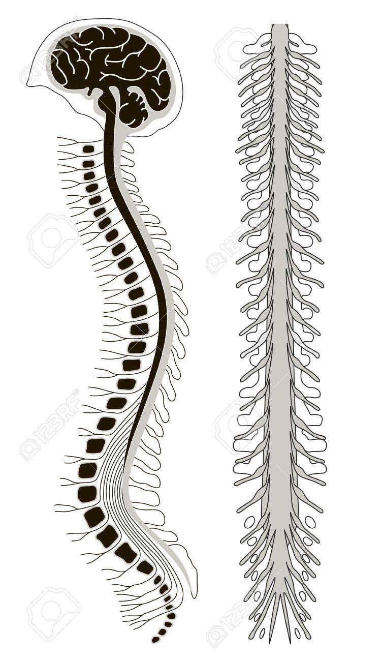 Ilustración Vectorial De Brian Humano Con La Médula Espinal ...
