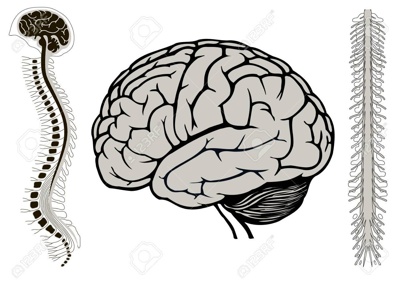 Ilustración Vectorial De Brian Humano Con La Médula Espinal, Brian ...