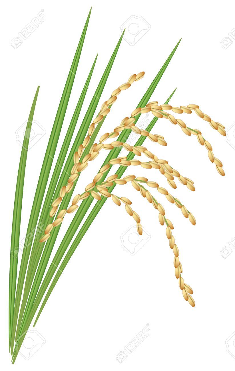 葉と水稲の穎花 ロイヤリティフ...