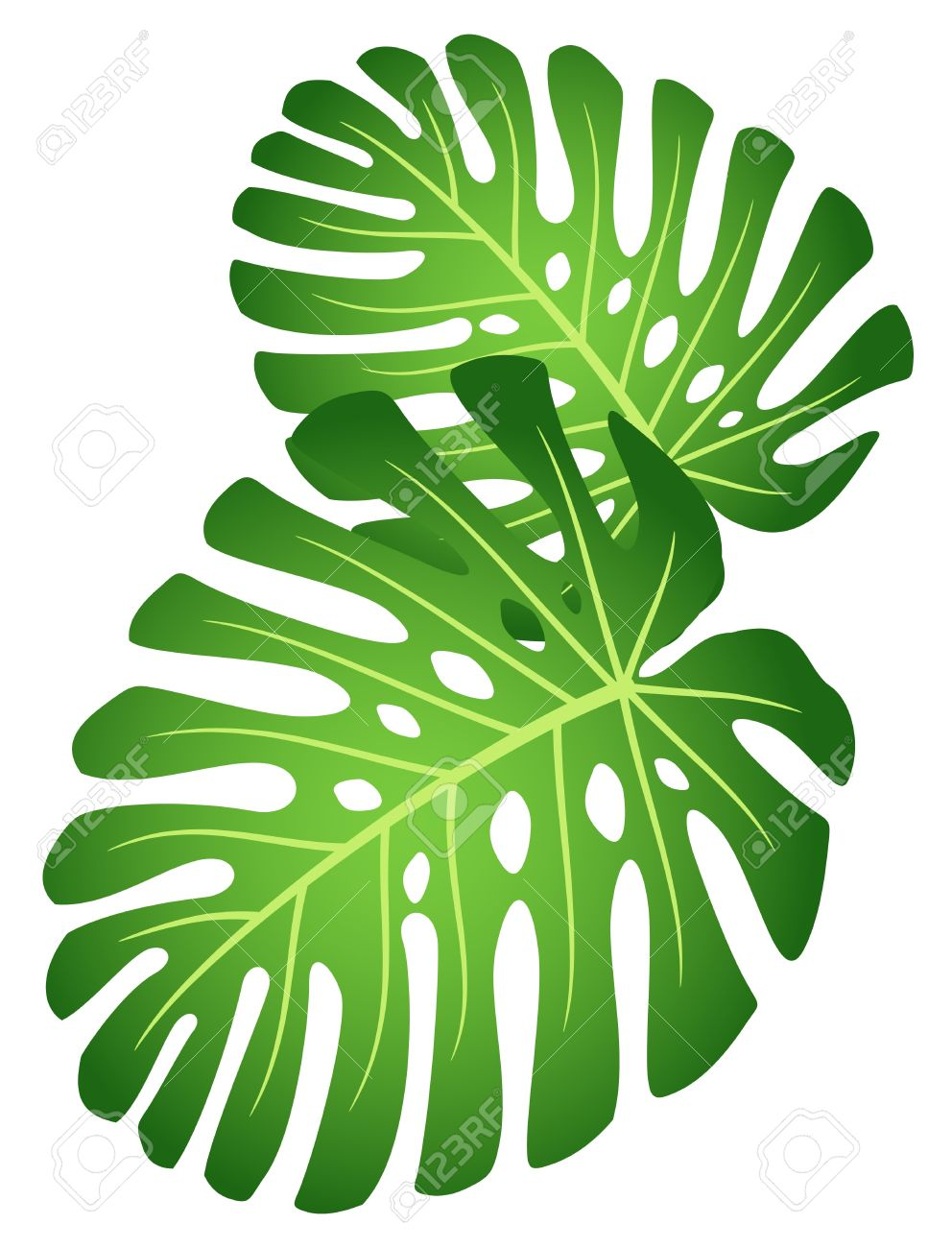 Leaves of tropical plant - Monstera. Stock Vector - 9466959